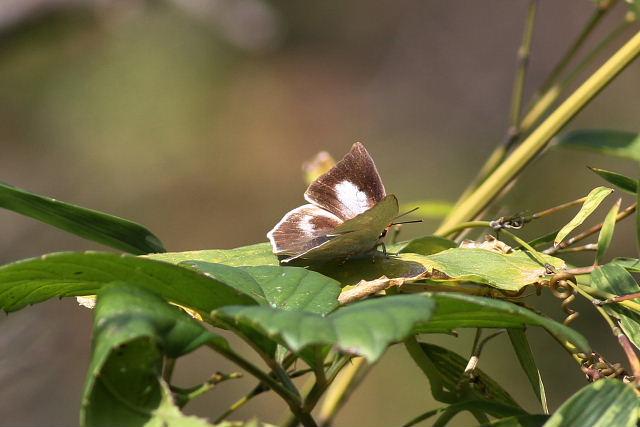 ウラギンシジミ(秋型)