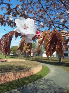 2012桜②