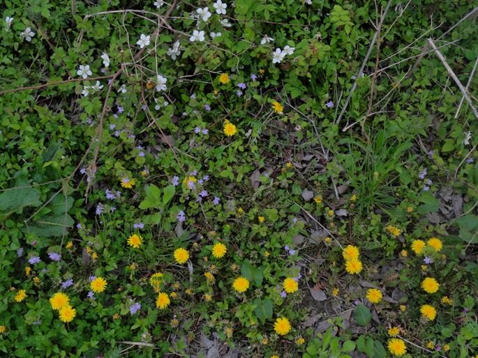 四月の野草