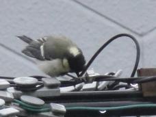 20120528シジュウカラ幼鳥1