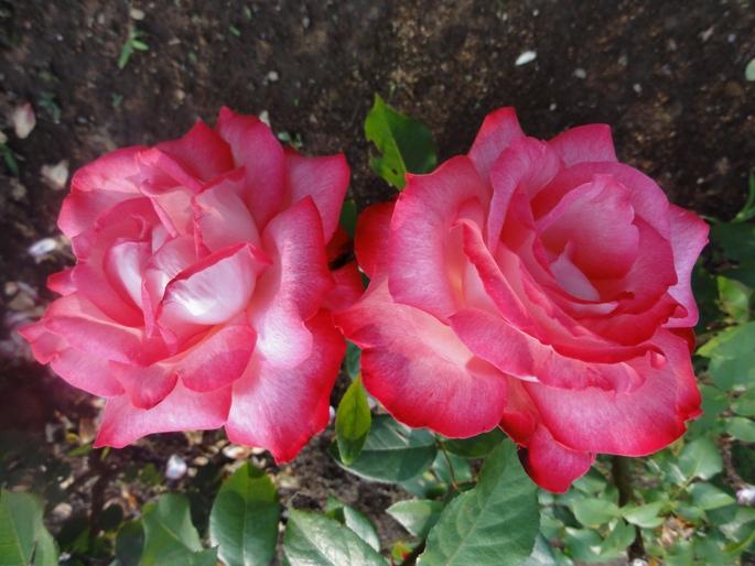 20120601智光山緑化植物園 聖火