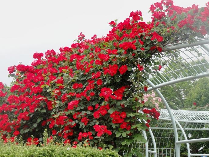 20120601智光山緑化植物園バラ