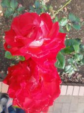 20120601智光山緑化植物園赤い薔薇