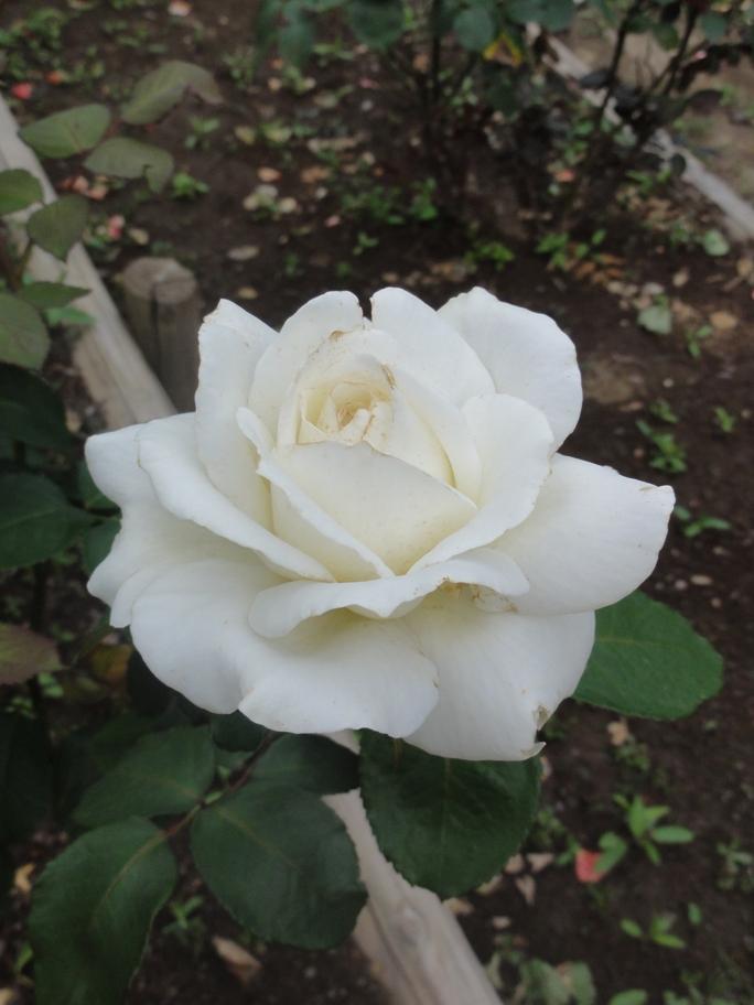 20120601智光山緑化植物園ゴールデン・ハート