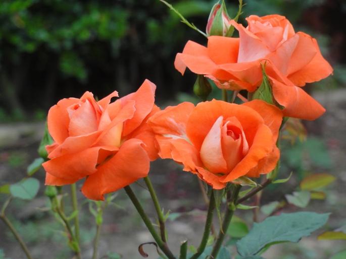 20120601智光山緑化植物園 ローラ