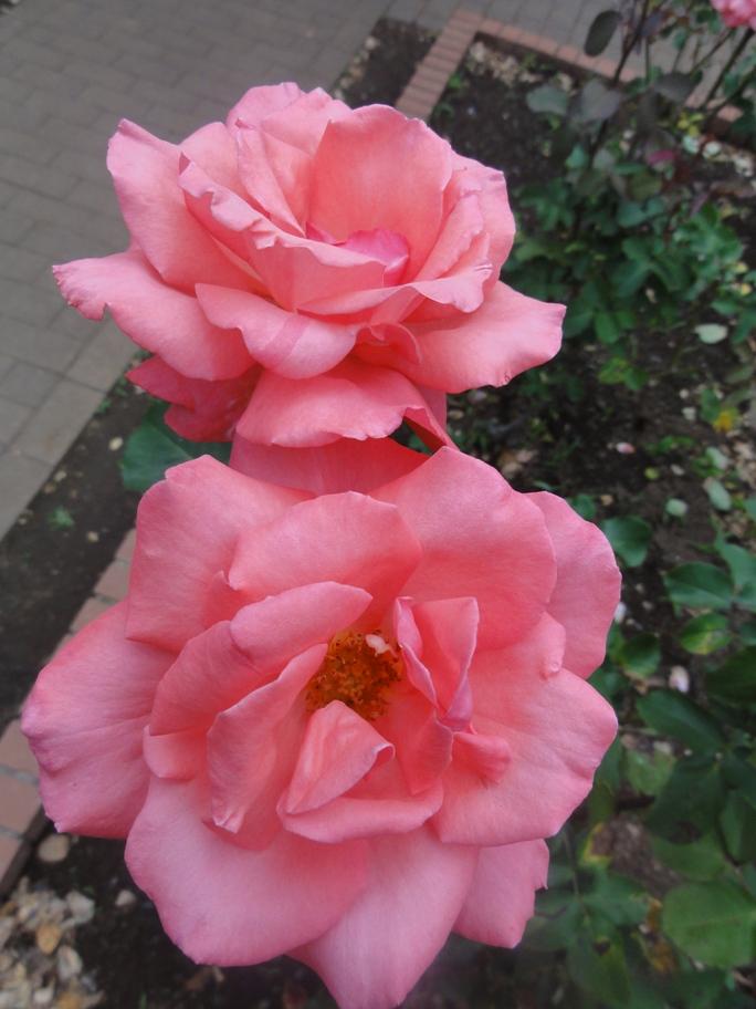 20120601智光山緑化植物園 芳純