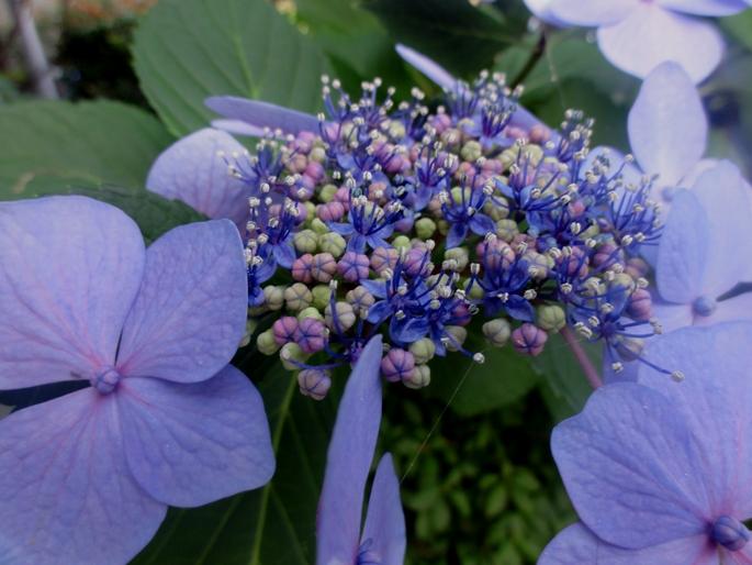 20120623紫陽花A2