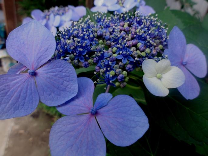 20120623紫陽花A1