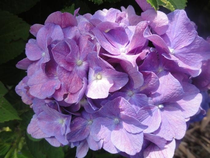 201206紫陽花A5