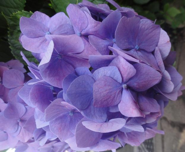 201206紫陽花A3