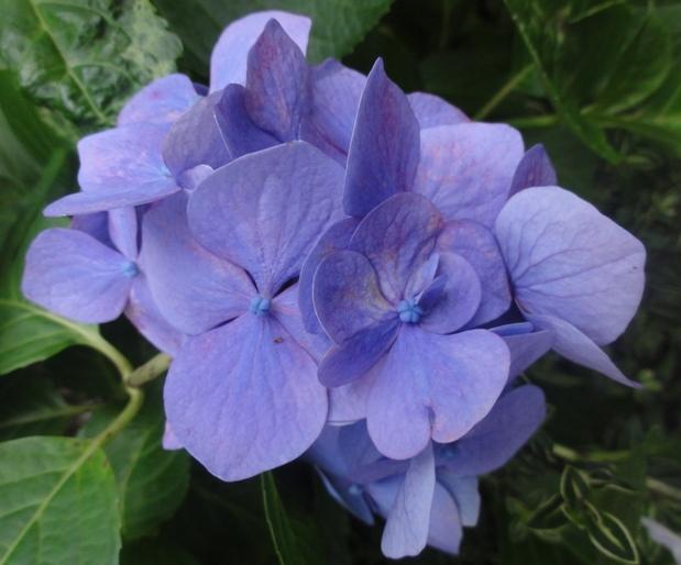 201206紫陽花A2