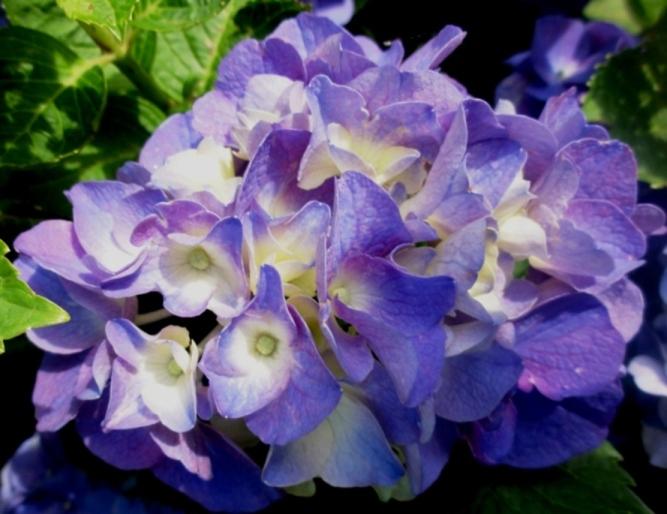 201206紫陽花A1