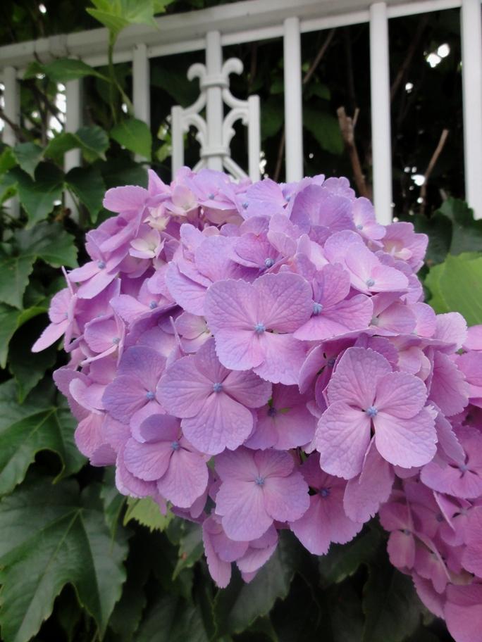 20120623紫陽花D1