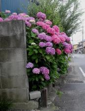 20120623紫陽花F1