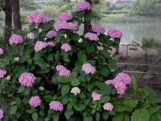 20120623紫陽花I1