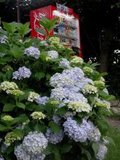 20120623紫陽花H1
