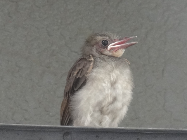 20120806幼鳥7