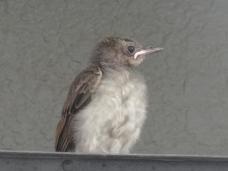 20120806幼鳥6