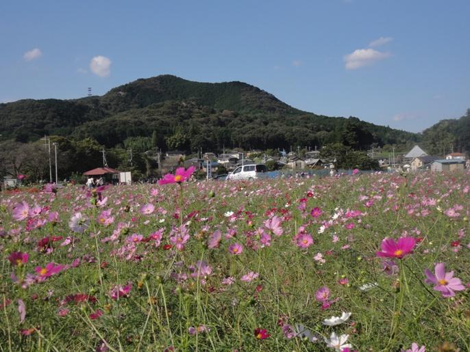 20121008巾着田 コスモス