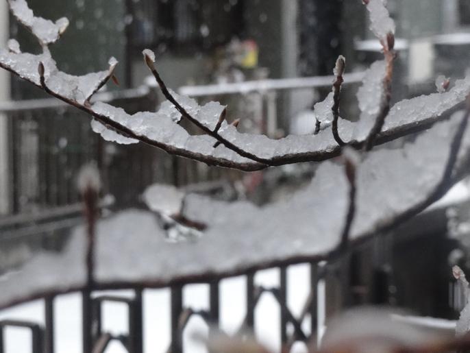20130114初雪と夏椿の冬芽