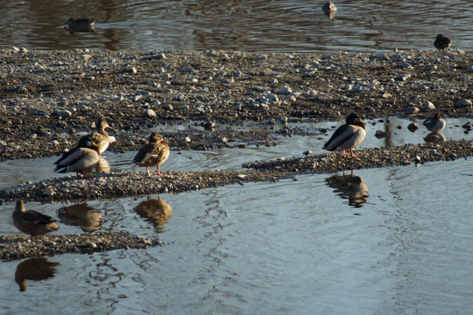 ダム付近のオアシスの水鳥20140127A