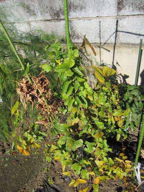 WEB_山芋収穫2