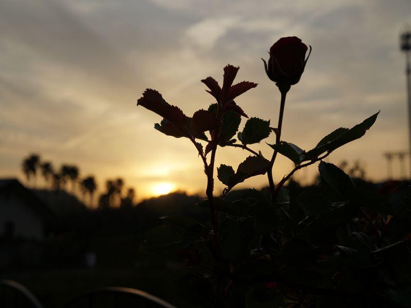赤いバラの蕾