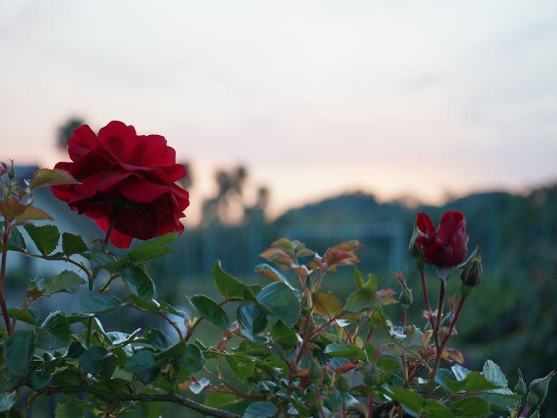 夕日と赤いバラ