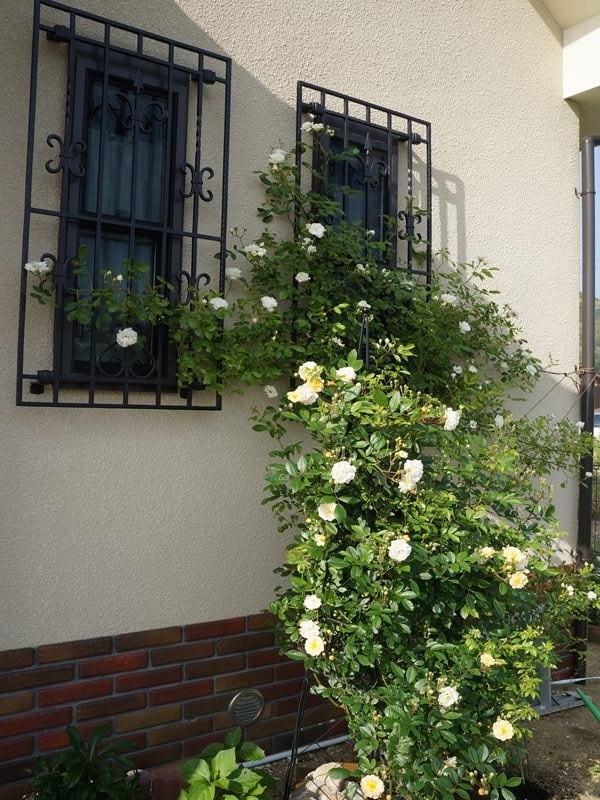 北側のバラ