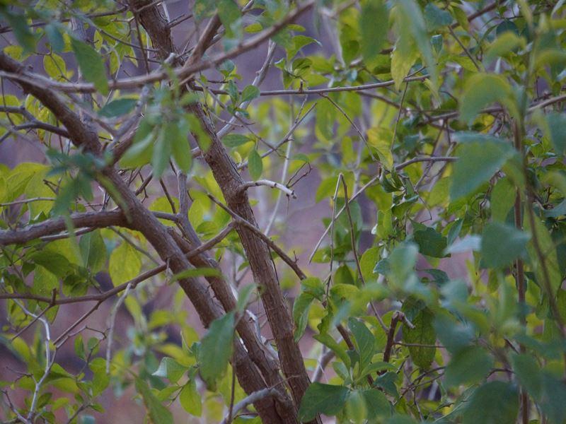 ソラナムラントネッティーの樹