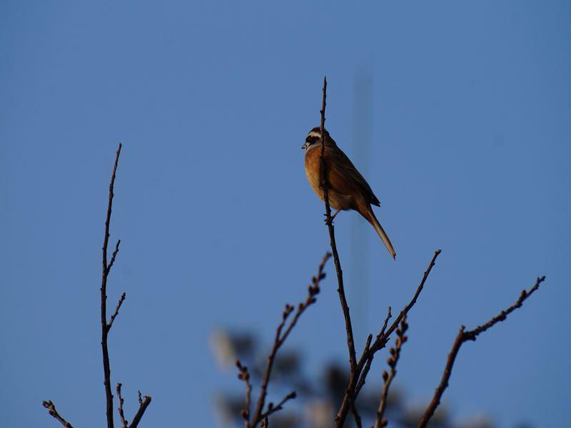 桜の木に止まってる小鳥
