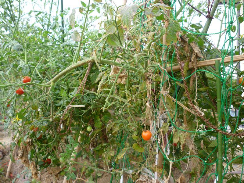 9月9日のトマト