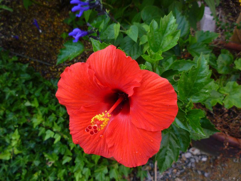 やっと咲いたハイビスカス 9月10日