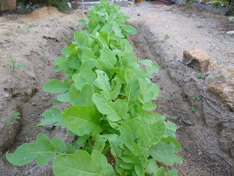 種蒔きから1か月のダイコン