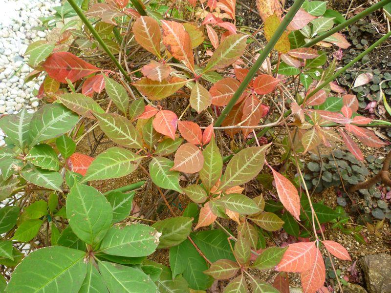 我が家の中庭の紅葉