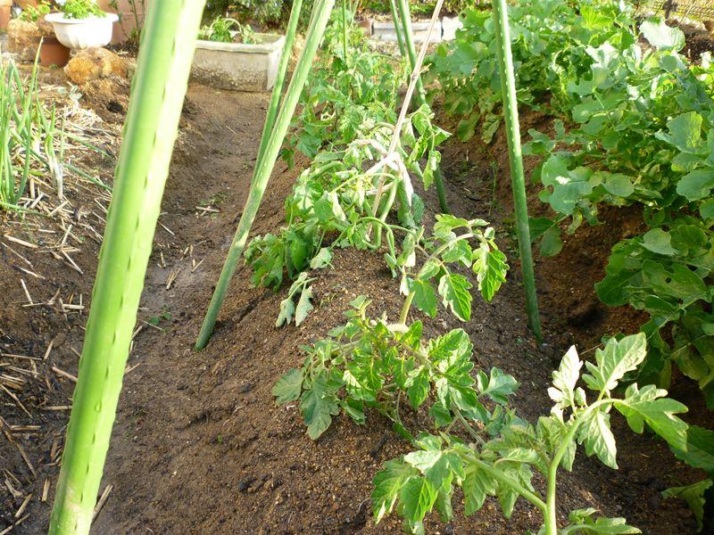 植え替えてみたトマトの苗?