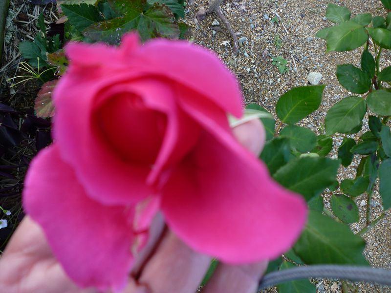 寒い中を咲いた薔薇