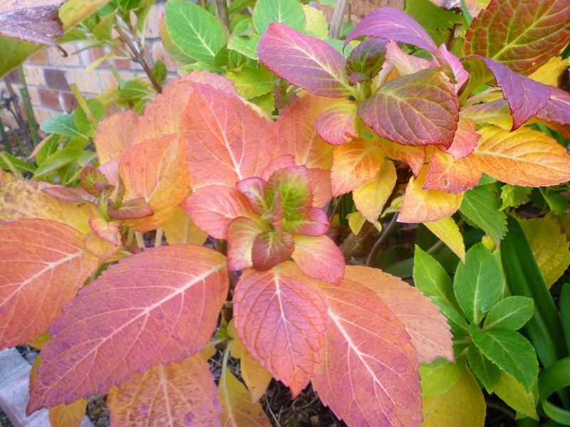 紅葉している庭のアジサイ