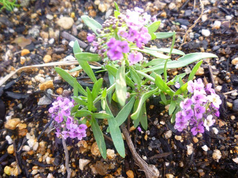 紫のアリッサム