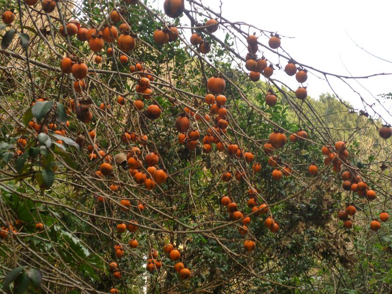 小さな山柿
