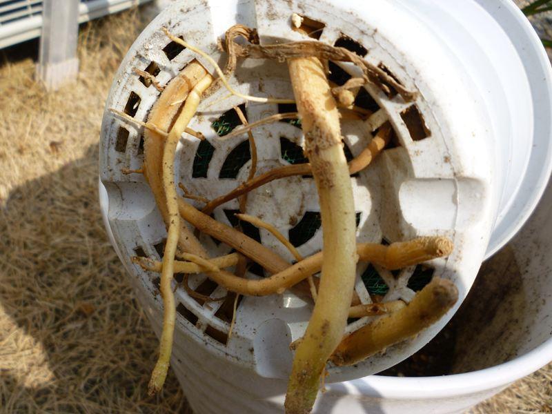 鉢から根が・・