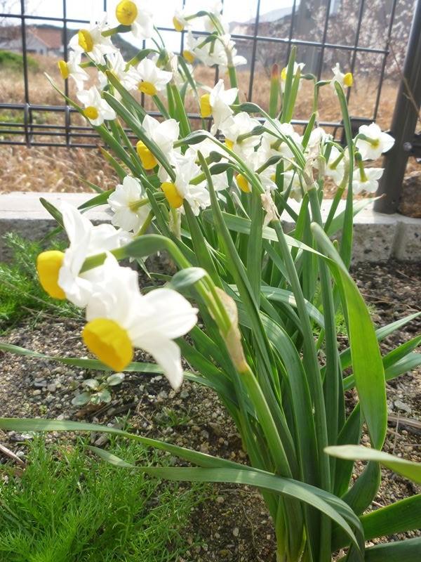 花盛りの水仙