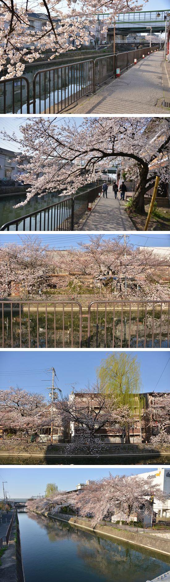 DSC_1199sakura.jpg