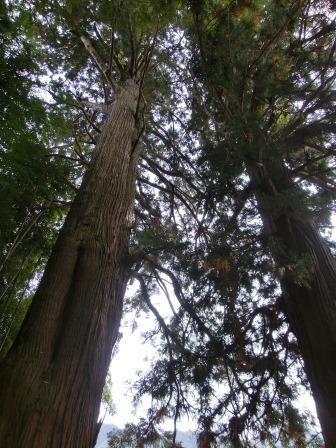 杉の神木1