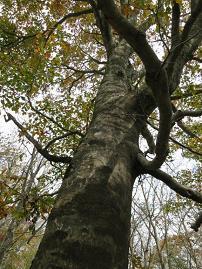 1115巨木ブナ