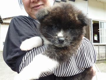 秋田県子犬