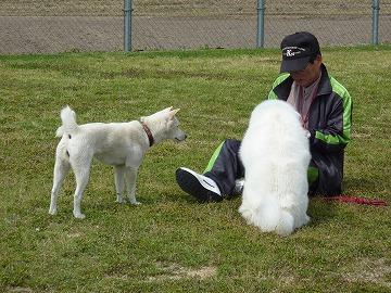秋田犬ねね