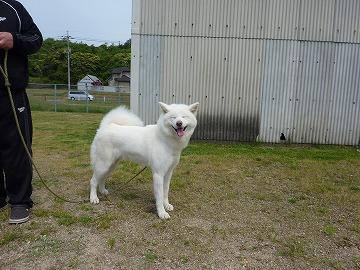 秋田犬チビ