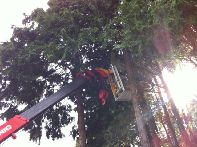 福岡 大木伐採