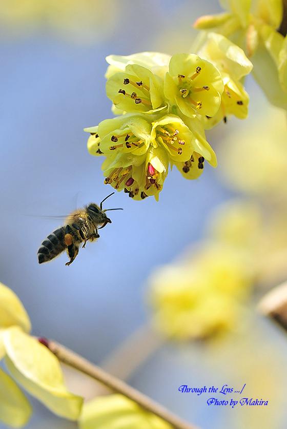 トサミズキとミツバチ1